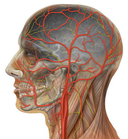 Cardiovascular System #3 - Blood Vessels