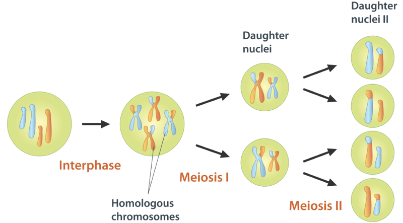 Meiosis ck 12 foundation figure 1 ccuart Choice Image