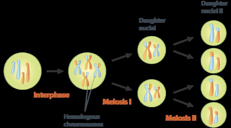 Meiosis Ck 12 Foundation