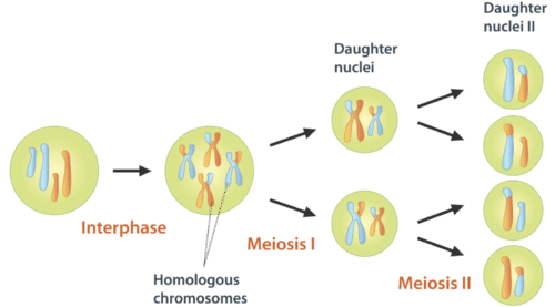 Overview of Meiosis