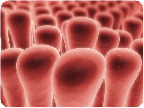 The small intestine is lined with tiny villi that help absorb nutrients