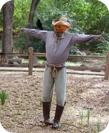 A crow that has habituated to a scarecrow