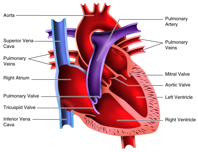 heart dissection report Brilliant sheet which guides you through a heart dissection.