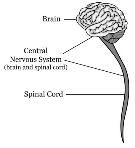 The central nervous system is composed of the brain and the spinal cord
