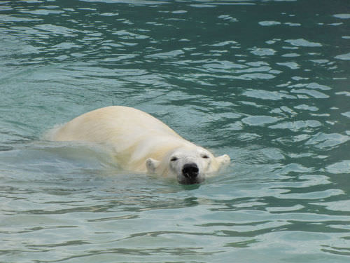 Polar bear swimming in the Arctic Ocean
