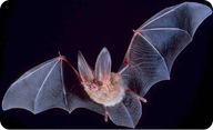Bats can detect sounds with very high frequencies