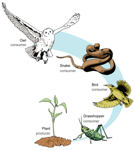 An example of a food chain that includes producers and consumers