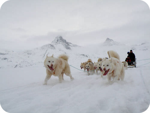 Dog sled on the Greenland ice cap