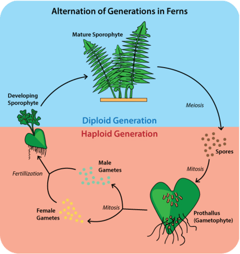 Alternation of generations on ferns