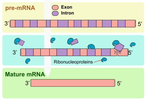 Splicing introns from mRNA