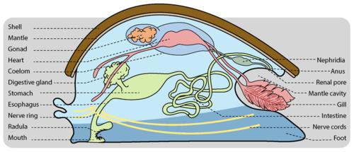 Basic mollusk body plan