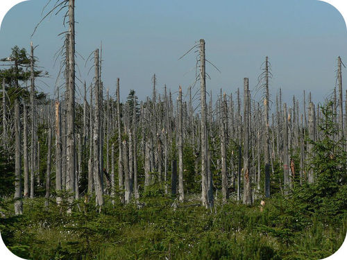 Trees killed by acid rain