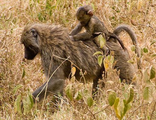 Baboons are partially terrestrial