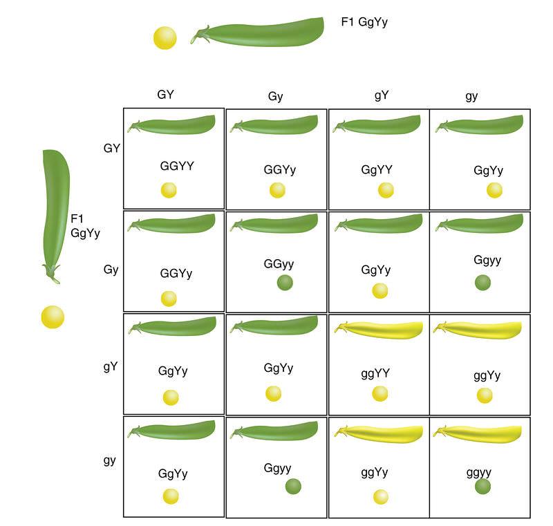 Dihybrid Crosses Worksheet - Genetic Disorders Blog Articles