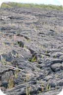 Primary succession, volcanic eruption being colonized by pioneer species