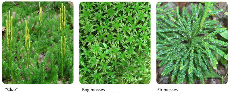 Clubmosses are often confused with mosses
