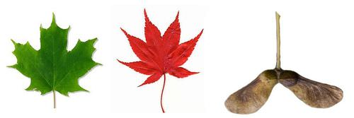 Leaves from the green and red maple tree, and a maple seed