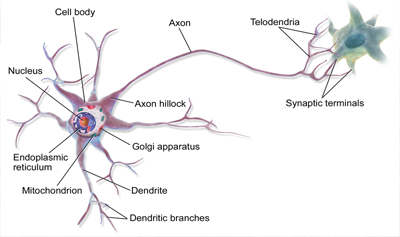 Nerve Cells and Nerve Impulses Quiz - MS LS