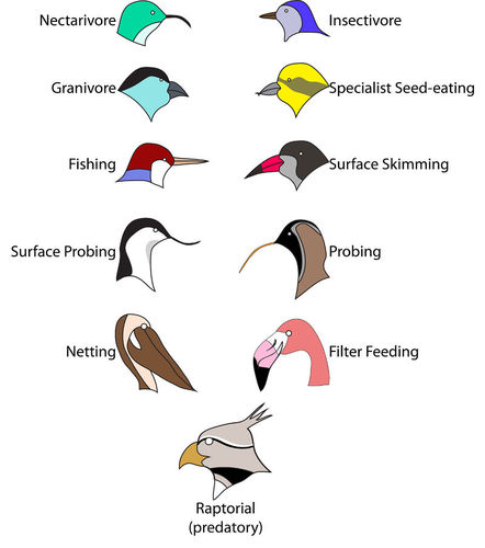 An illustration of different bird beak types adapted for its niche