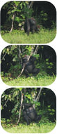 Gorilla using a branch as a tool