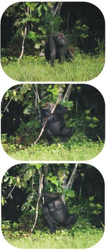 Gorilla using a branch as a tool