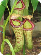 A pitcher plant is different from other plants because it is not a producer, it is a consuemer