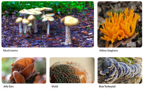 Examples of fungi: mushroom, yellow staghorn, jelly ears, mold, blue turkeytail