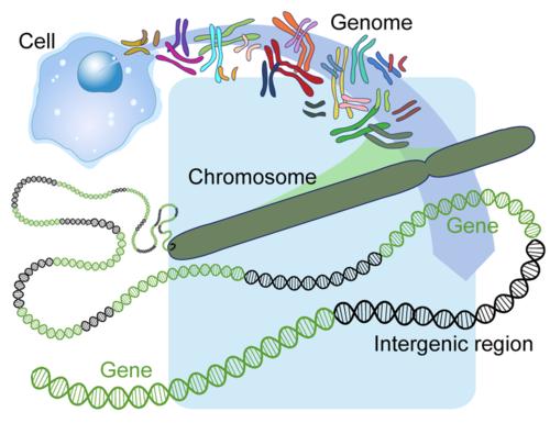 Human Genome, Chromosomes, Genes