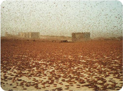 Locust swarm in Mauritania