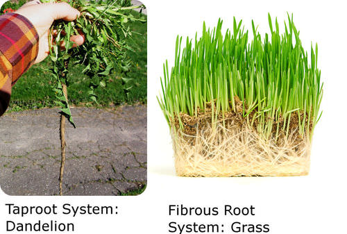 Fibrous root system | vancleave's science fun.