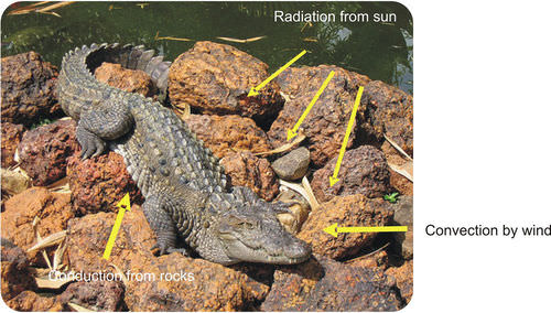 Heat transfer to an ectothermic reptile