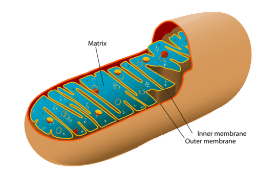 Cut-away view of a mitochondrion