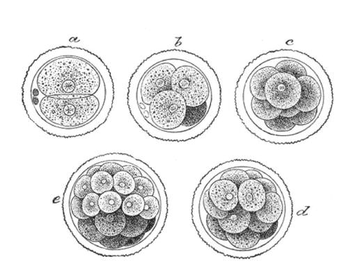 Drawing of mitosis in a zygote to form an embryo