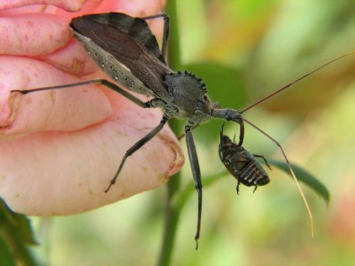 An assassin bug feasts on a beetle