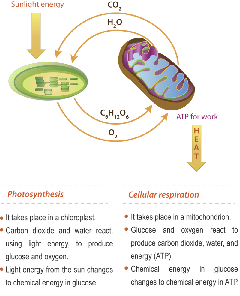 Cellular respiration ck 12 foundation cellular respiration and photosynthesis are direct opposite reactions some of the atp made in the mitochondria is used as energy for work and some is lost pooptronica Image collections