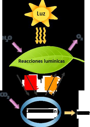 Reacciones lumínicas de la fotosíntesis ( Read ) | User Generated Content | CK-12 Foundation