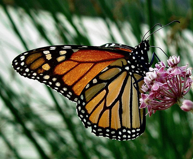 Danaus plexippus: Monarch Butterfly
