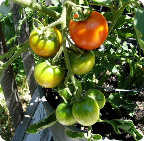 The hormone ethylene is signaling these tomatoes to ripen