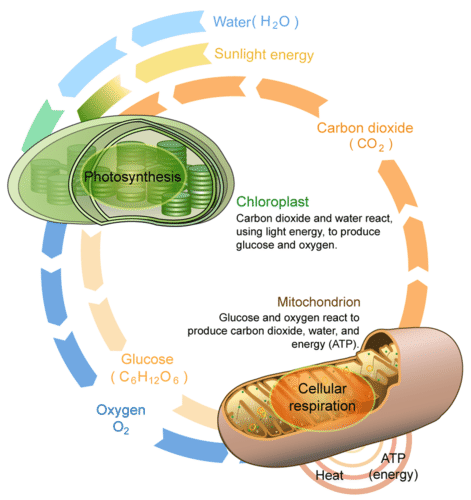 Cellular respiration and photosynthesis read biology ck 12 cellular respiration and photosynthesis are direct opposite reactions ccuart Image collections