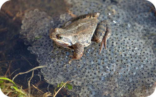 A frog in frog spawn