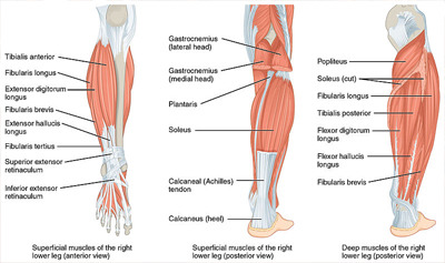 Muscles, Bones, and Movement