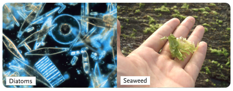 Both unicellular diatoms and multicellular seaweed are algae