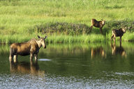 A moose in a kettle lake at Denali National Park in Alaska
