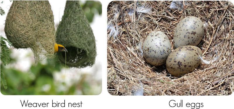 Bird Reproduction Ck 12 Foundation