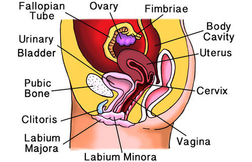 This drawing illustrates the organs of the female reproductive system from a side view
