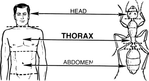 A diagram of a human and an insect, comparing the three main body parts: head, thorax, and abdomen