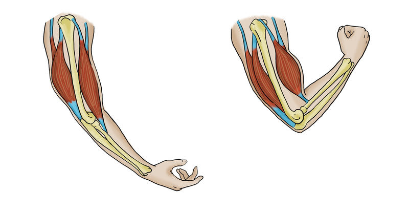 Skeletal Muscles Read Biology Ck 12 Foundation