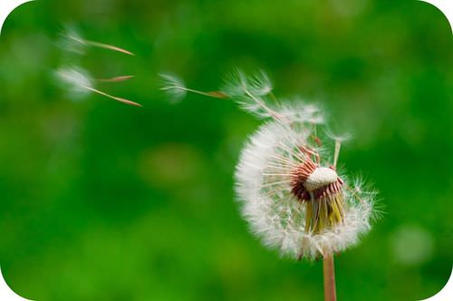 Dandelion seeds disperse far from the parent plant