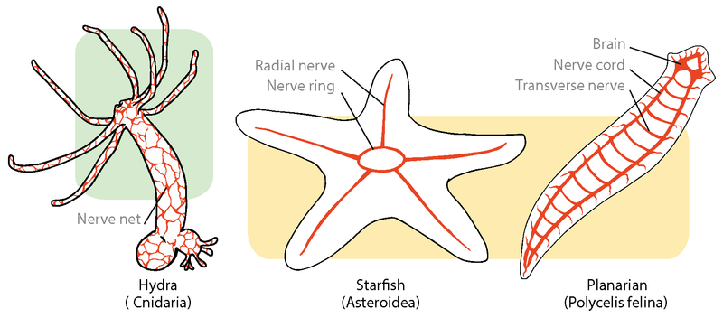 nervous system of vertebrates and invertebrates