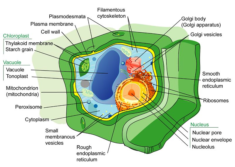Organelles in a plant cell